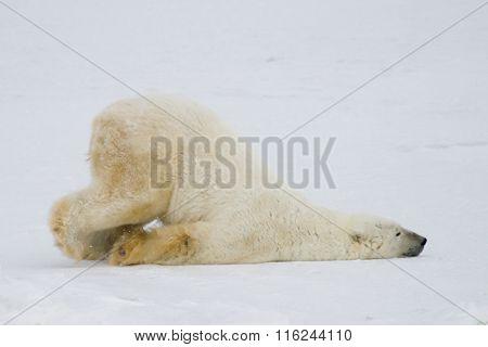 Silly Polar Bear sliding across snow