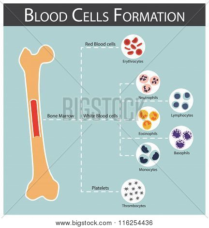 Blood Cells Formation ( Bone Marrow Produce Blood Cells Series )