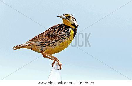Meadowlark