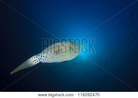 Scribbled Filefish file fish