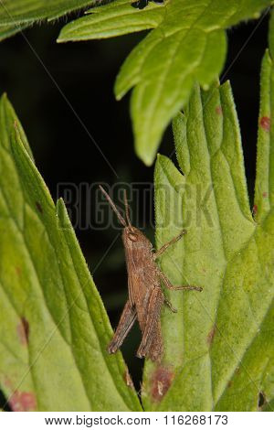 Common Field Grasshopper (chorthippus Brunneus)