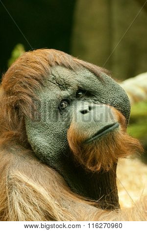 Big brown Bornean orangutan