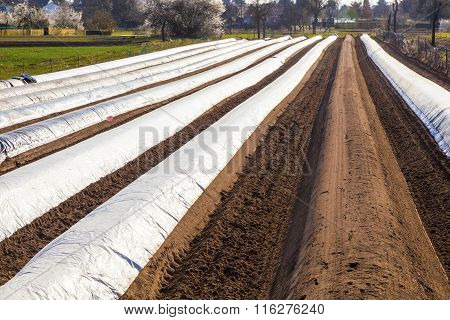 field of asparagus in spring covered with foil