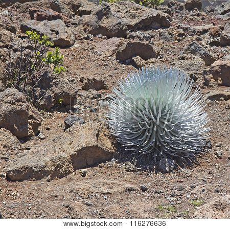 Silversword (ahinahina) Plant In Haleakal National Park