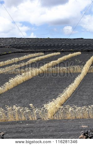Field On Volcanic Soil With Golden Row Of Corn In Lanzarote