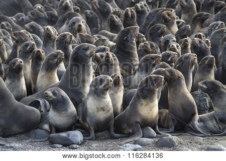 Group Of Young Northern Fur Seal Rookery On Bering Island