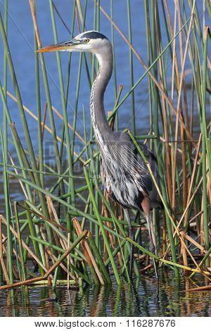 Great Blue Heron Stalking Its Prey In A Florida Marsh