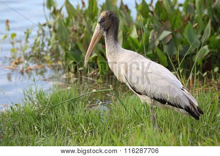 Wood Stork At The Edge Of A Florida Pond