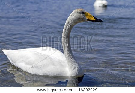 Young  White whooper swan