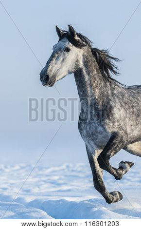 Dapple-grey horse - close up portrait in motion