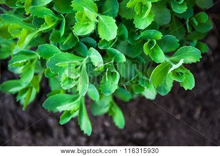 Young Green Leaves Of Sedum