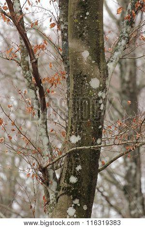 Moss bryophyta growing on beech tree aka fagus sylvatica poster