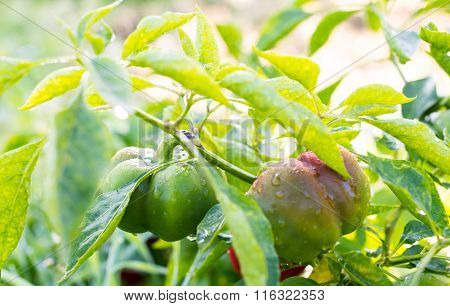 Growing The Bell Peppers (capsicum)
