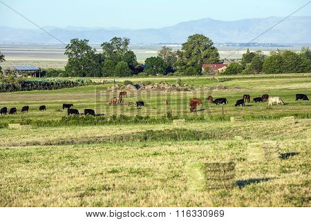 Cows Grazing At The Meadow With Green Grass