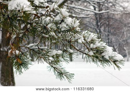 Snow Covered Branches Of Coniferous Tree