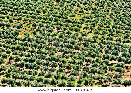 Olive Grove In Mont-roig Del Camp, Spain