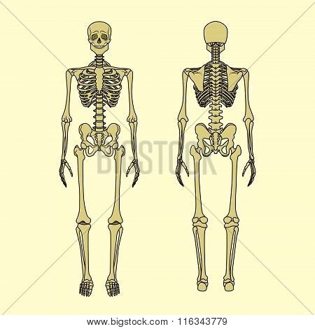 Human Skeleton, Front And Rear View.