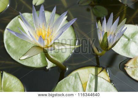 Nymphaea Caerulea - Blue Lotus Of Egypt