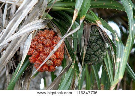 Seeds of sea pandanus or screw pine plant tree (Pandanus tectorius or Pandanus odoratissimus)