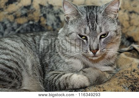 Cat on brown background, Serious cat, cat at home, proud cat, funny cat, grey cat, domestic animal,