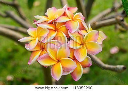 Frangipani flowers. Frangipani feel refreshed when nearby