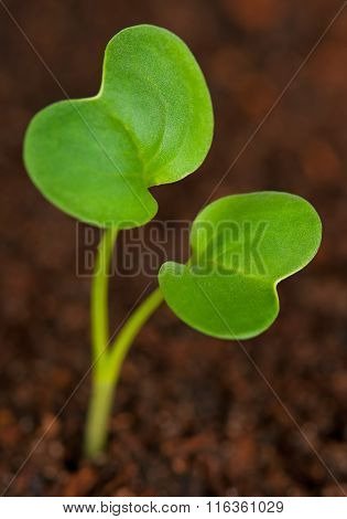 Young Green Sprout