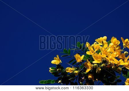 Flower Yellow Senna Spectabilis
