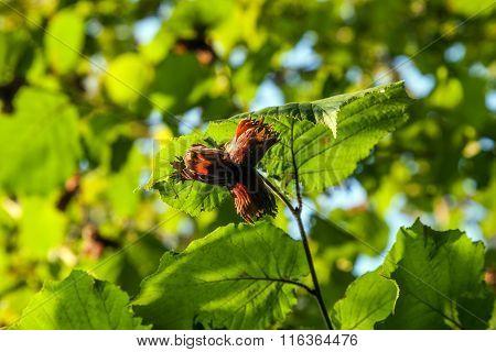Green Leaves Of Hazelnut Tree