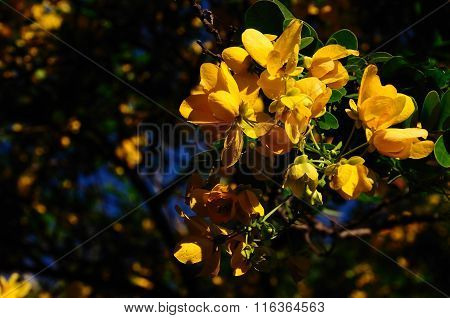Senna Spectabilis  Flowers Vegetables Or Herbs With Medicinal Properties