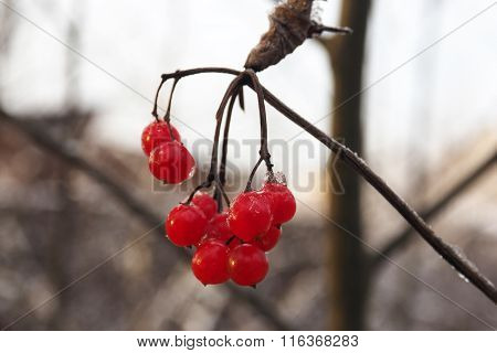 Red berry viburnum,  frozen berries on a branch.