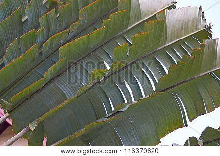 Palm Leaf Close-up