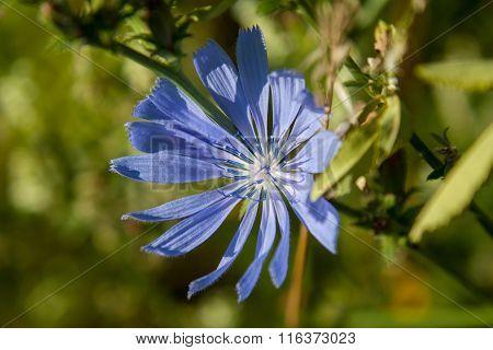 Chicory,  Cichorium Intybus Latin