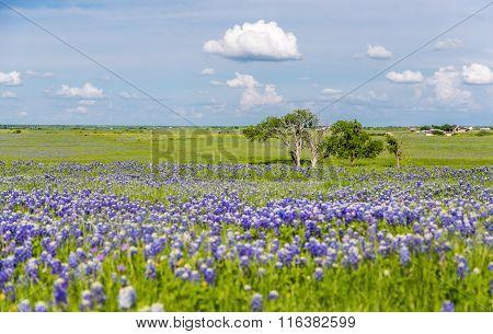 Bluebonnet Field In Ennis, Texas
