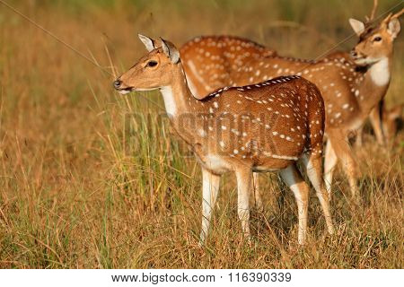 Spotted deers or chitals (Axis axis) in natural habitat, Kanha National Park, India