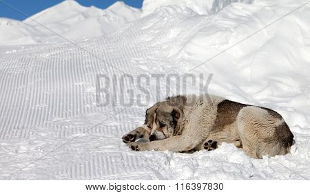 Dog Sleeping On Snow