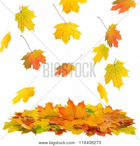 Red and yellow falling maple leaves isolated on white background. Autumn fall