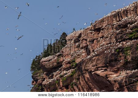 Northern Gannet colony on Bonaventure Island