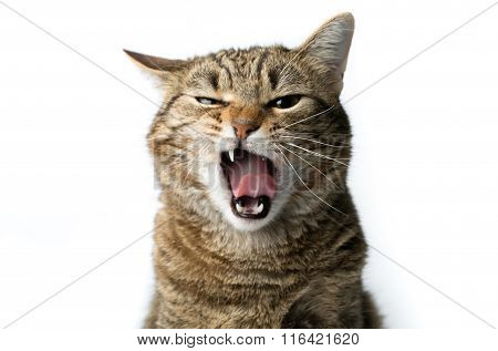 Cute European Kitten Isolated White Background , Animal Portrait
