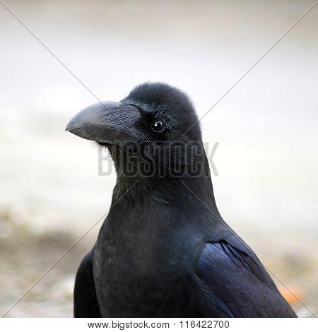 Bird Black raven