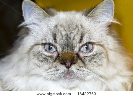 Cat Persian extreme