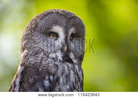Close up of a Tawny Owl (Strix aluco) in woods poster