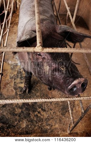 Black-skinned pig indigenous to Bali is raised for breeding and meat in Ubud, Indonesia