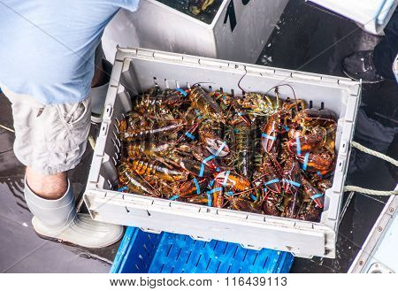 The Daily Lobster Catch
