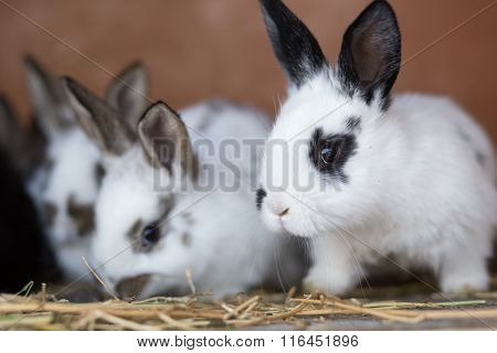 Young Rabbits Feeding Straw In The Cage