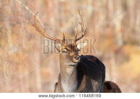 Fallow Deer Buck Coming To The Camera