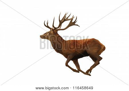 Isolated Red Deer Running