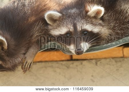 Raccoon On The Zoo