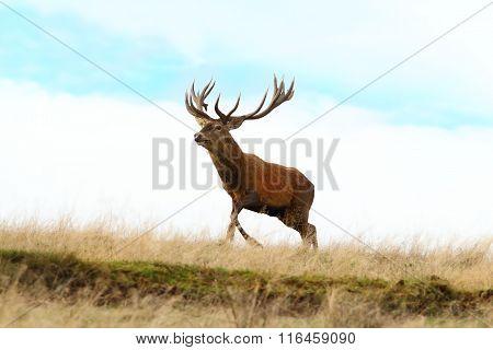Red Deer Buck Running On Top Of A Hill