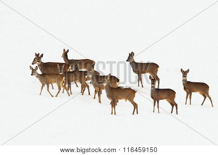 Roe Deers In A Winter Day