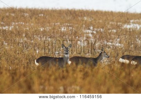 Roe Deers In Faded Winter Field